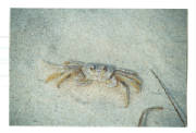 Ghost Crab @ the Jersey Shore