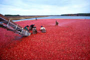 Cranberry Production in New Jersey