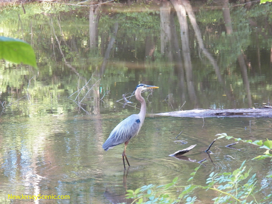 great_blue_heron_at_D_and_R_Canal.JPG